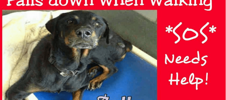 Very weak Rottweiler in need