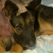 Retired guard dog repeatedly stabbed by intruder