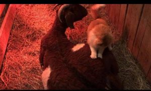 cat-helps-pregnant-goat-2