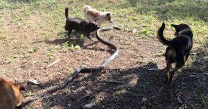 King cobra attack 2