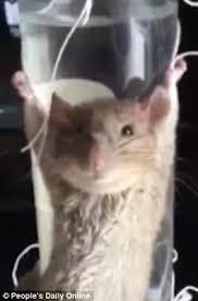 Rat tied up