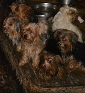 92 Yorkies Rescued By San Diego Humane Society From Hoarding