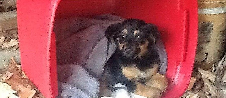 Puppy left paralyzed after being shot