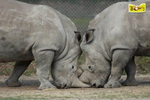 Rhino killed at paris zoo 2
