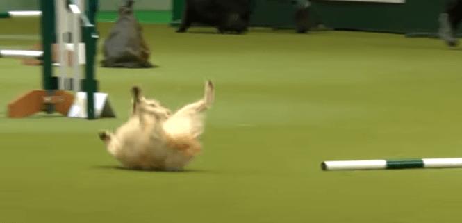 Joyful dog takes a tumble during agility run