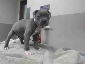 Special needs puppy born without an anus