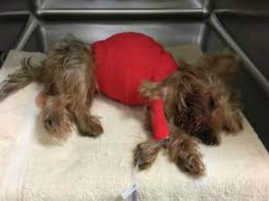 Fatally Injured Yorkie Left To Die In Trash At Miami Parking Lot