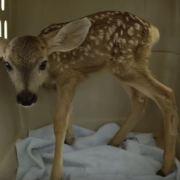 Baby deer taken from the wild