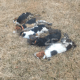 Pastor's hunting dogs poisoned