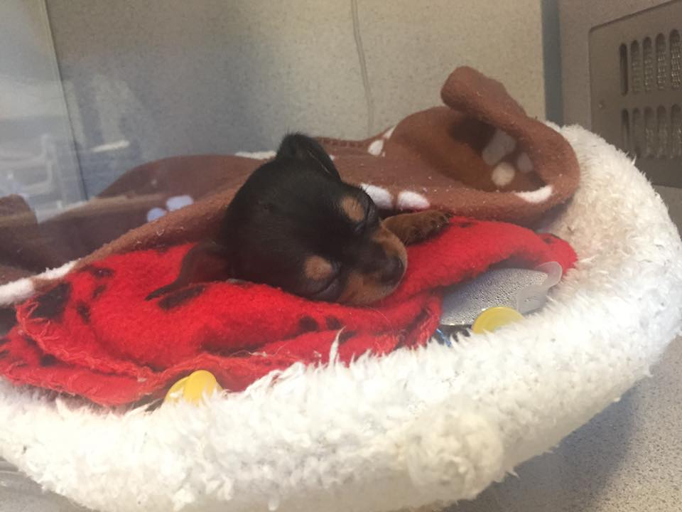 Update: Someone stepped on 1-pound puppy and surrendered him • Pet Rescue Report