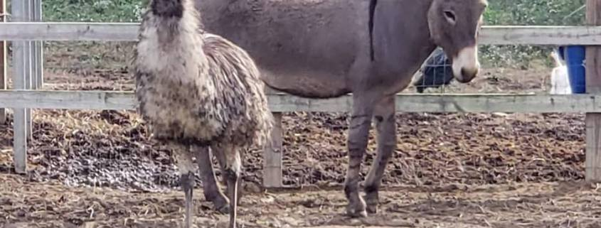 Bonded emu and donkey need a home together