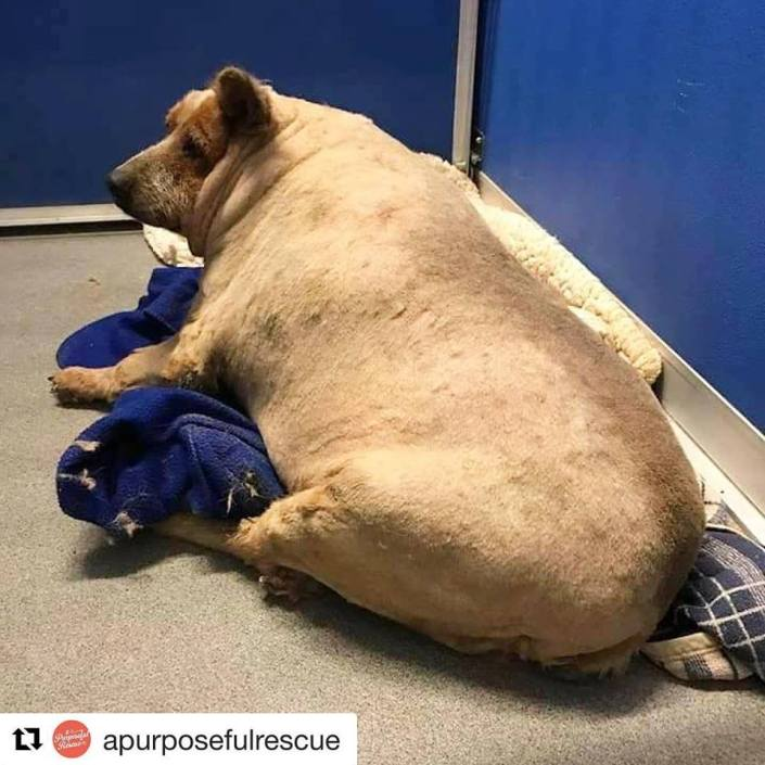 Morbidly obese dog rescued