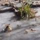 Alligators frozen in swamp ice