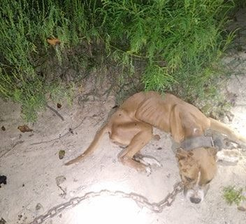 Lifeless dog found chained in the woods