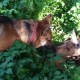 Moose calf forms unlikely friendship with German shepherd