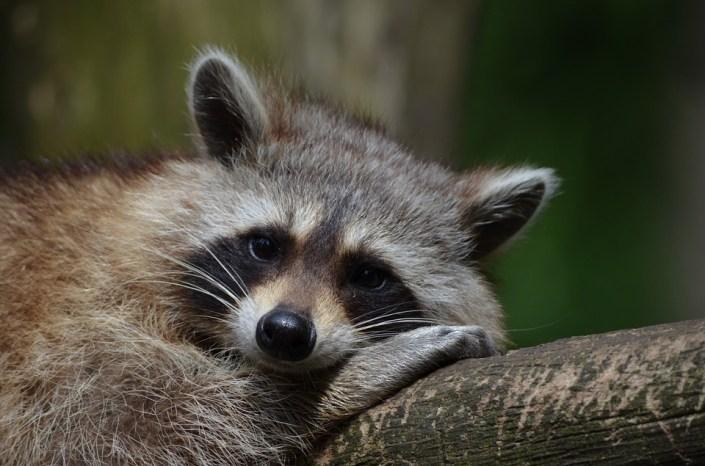 Police ran over raccoon