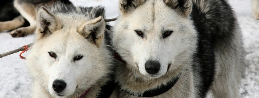 Sled dogs killed by a train
