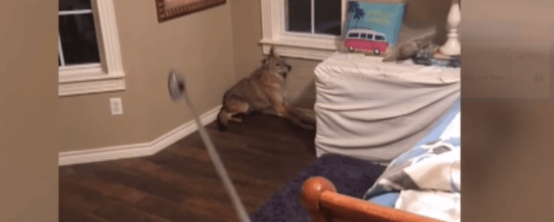Woman startled awake by coyote