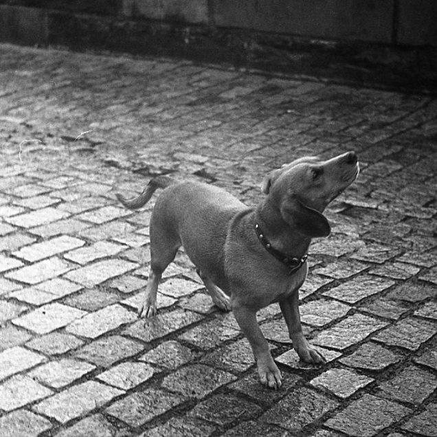 Dog on Charles Bridge (Prague): October 2017 (Fed 2: Kentmere 100)