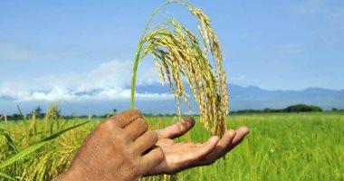 سوريا تطرح مناقصة لشراء 39.400 ألف طن من الأرز الأبيض