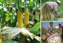 واردات الذرة تسجل 206 مليون دولار في شهر واحد