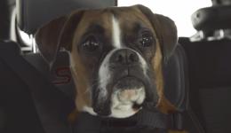 fiestastdog