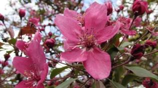 Cires rosu