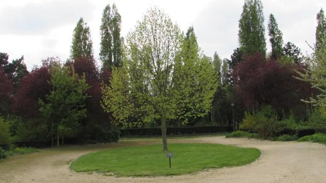 Copac maiestos
