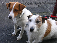 How Much Do Jack Rat Terriers Shed Blurtit