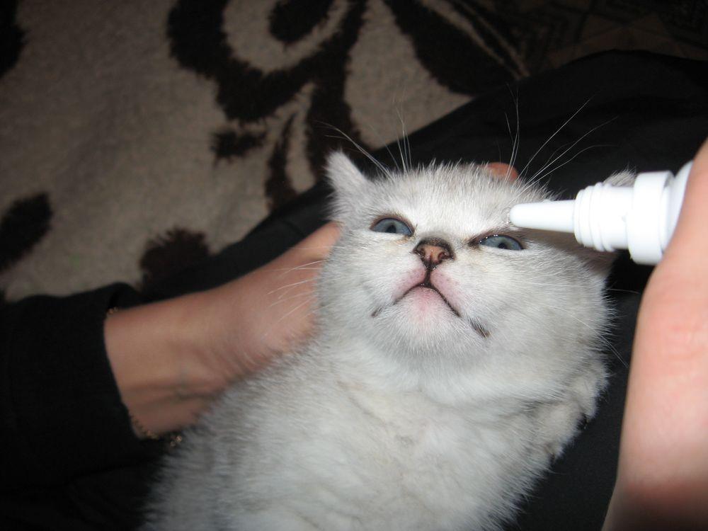Jika mata diamati pada anak kucing, itu harus segera ditunjukkan oleh seorang spesialis