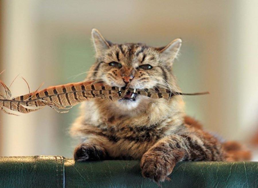 Tidak semua kucing tua berubah wol sangat jelas untuk menentukan terjadinya usia tua