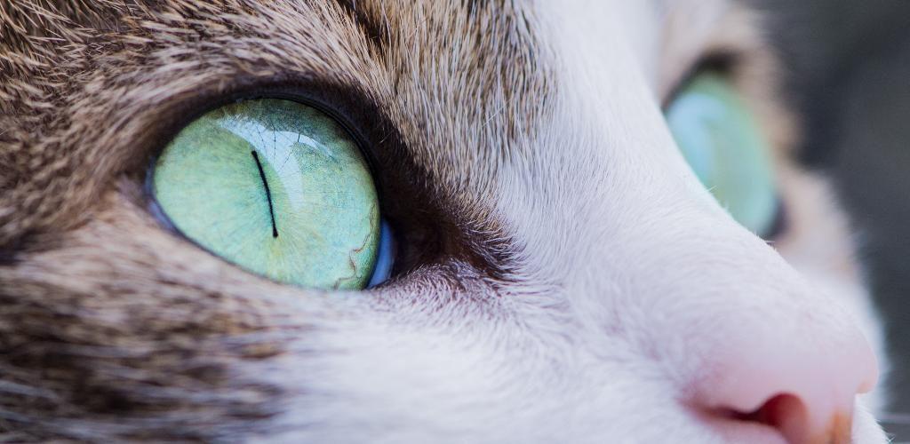 lehetséges-e helyreállítani a macskának a látást
