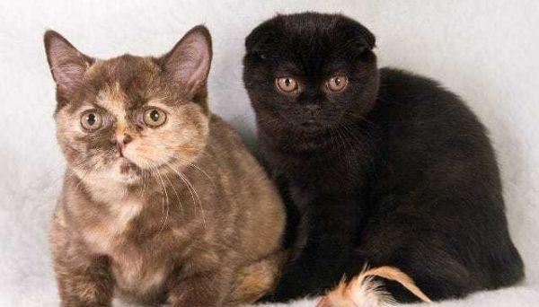 Дисплазия тазобедренных суставов у котят