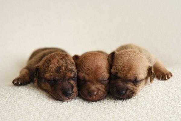 Симптомы и лечение герпеса у собаки (первые признаки с фото). Лечение вируса у собак. Признаки, определяющие герпес
