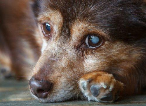 狗狗眼睛疾病 - 白內障