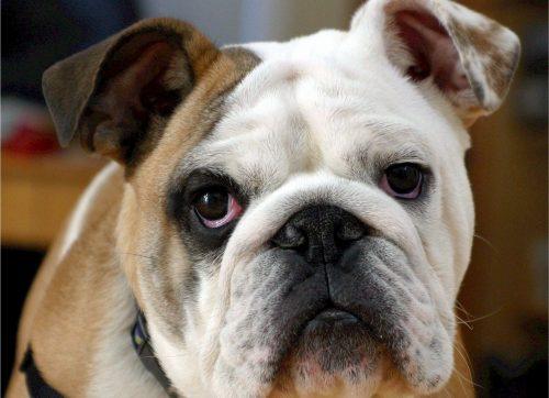 狗狗眼睛疾病 - 角膜炎