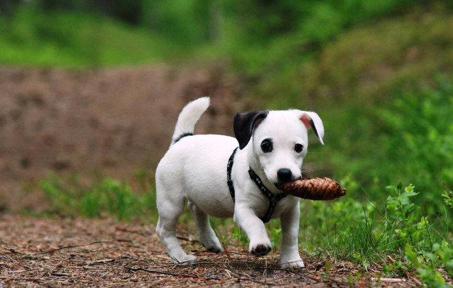 Основные моменты, как воспитывать щенка. Как воспитывать щенка и взрослую собаку? Правильное воспитание Что нужно знать при воспитании щенка