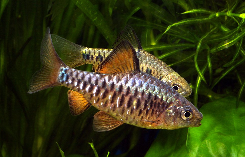 самые неприхотливые аквариумные рыбки фото с названиями и описанием женой