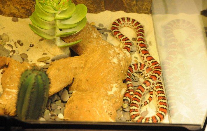 Молочная змея кэмпбелла