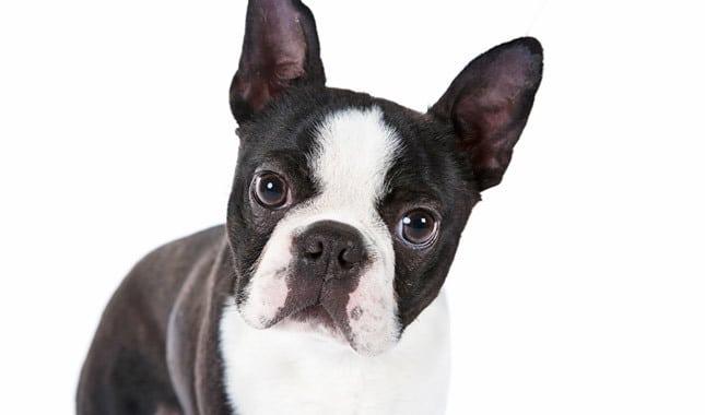 Boston Terrier Temperament Quick Guide On Behavior Petsbyte
