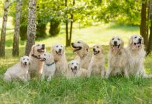How Long Do Golden Retrievers Live