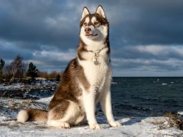 How long do Huskies Live