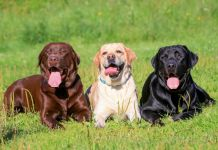 How Long Do Labs Live