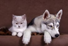 how to train a siberian husky to like cats