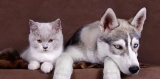 how to train a siberian husky to like cats