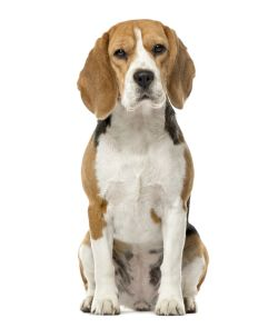 Beagle 16 months old