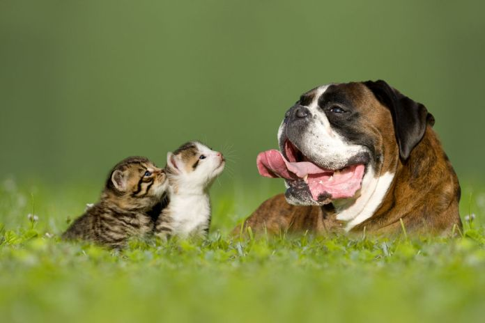 boxer dog with- little kittens