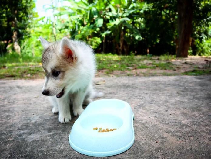 my husky is not eating