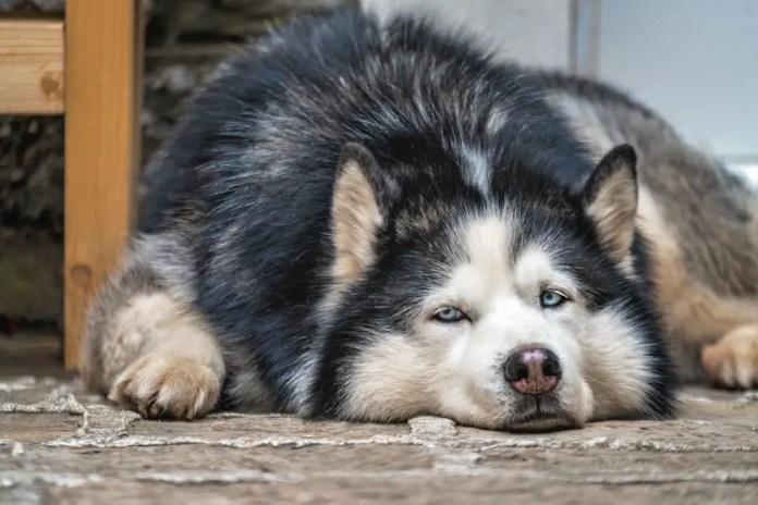 tired husky dog resting