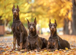 do dobermans brains outgrow their skull
